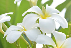 White and yellow frangipani flowers with leaves in background.  Royalty Free Stock Image