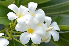White and yellow frangipani flowers with leaves in background Royalty Free Stock Image