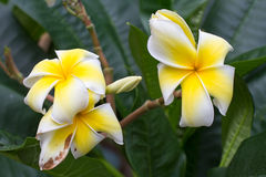 White and yellow frangipani flowers. With leaves in background Stock Images