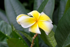 White and yellow frangipani flowers. With leaves in background Royalty Free Stock Photo