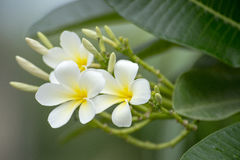 White and yellow frangipani flowers. With leaves in background Royalty Free Stock Photography
