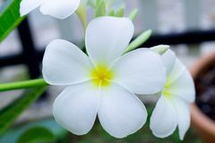 White and yellow frangipani flowers with leaves in background. P. Lumeria Royalty Free Stock Photography