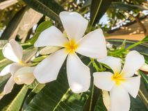 White and Yellow Frangipani Flowers with Leaves in the Shadow Stock Photo