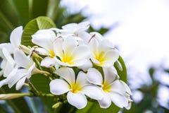 White and yellow Frangipani flowers. Or Plumeria Royalty Free Stock Photos