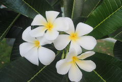 White and yellow frangipani flowers  selective focus Royalty Free Stock Photography