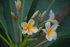 WHITE AND YELLOW FRANGIPANI FLOWERS. View of white and yellow Frangipani flowers with pink disclouration on the petals Stock Images
