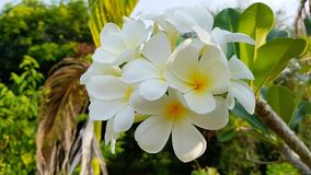 White and yellow Frangipani in Wilderness of Thailand found on koh Lanta. Plumeria an oriental beauty flower growing in neotropis Asia Indonesia Hawaii and many royalty free stock images