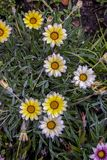 White and yellow gazania flowers stock photography