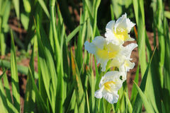 White and yellow gladiolus in a flower field. Horticulture Royalty Free Stock Images