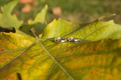 Shining Wedding Rings on Tree Leaf in Autumn royalty free stock image