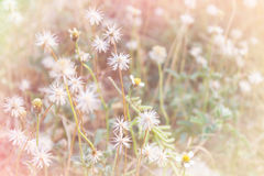 White and yellow grass flower field in soft mood pink pastel fil Royalty Free Stock Photo