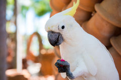 White yellow horn parrot macaw Royalty Free Stock Image