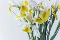 White yellow iris flower in vase. Blooming white yellow iris flower in vase Stock Images