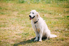White Yellow Labrador Retriever Dog, Ajar Jaws, Tongue Sitting Stock Photography