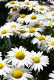 White and yellow large Daisies shallow dof Royalty Free Stock Photo