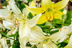 White and yellow lilies in the garden Stock Photo