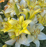White And Yellow Lilies After Rain Stock Photos