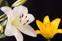 White and yellow lily Royalty Free Stock Photo