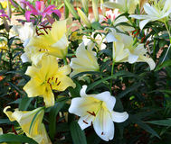 White and yellow lily Royalty Free Stock Photos