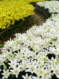 White and yellow lily flowers Royalty Free Stock Image