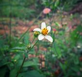 Bidens pilosa, Spanish needle, wild flower with white petals and yellow center royalty free stock images