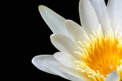 White Yellow Lotus flower on black background Royalty Free Stock Image