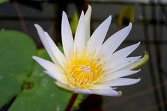 White Yellow lotus flower ( Nymphaea 'Daubenyana' ) Royalty Free Stock Image