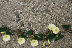 The white-yellow morning glory flower on the sand Royalty Free Stock Photo