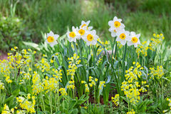 White and yellow narcissus Stock Photography