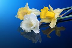 White and yellow narcissus on blue Stock Images