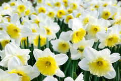 White and yellow narcissus field Royalty Free Stock Photography