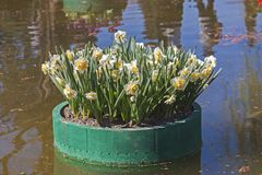 White and yellow narcissus on a floating platform Stock Photography