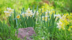 White and yellow narcissus Royalty Free Stock Photography