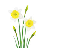 White and yellow narcissus on white Royalty Free Stock Photography