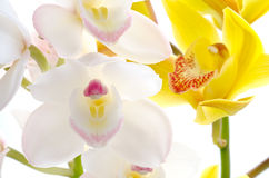White and yellow orchid Royalty Free Stock Images