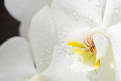 White and yellow orchid closeup Stock Images