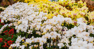 White and yellow orchid flower Royalty Free Stock Photo