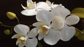 White and Yellow Orchid Flowers stock photos