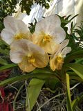 white and yellow orchid in the garden stock photo