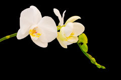 White & Yellow orchid Royalty Free Stock Photo