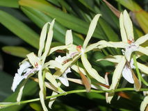 White And Yellow Orchids Royalty Free Stock Images