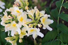 White and yellow Oxydol rhododendron flowers macro selective fo. White and yellow Oxydol rhododendron flowers in bloom macro selective focus royalty free stock photo