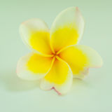 White and yellow pagoda flower Royalty Free Stock Photos