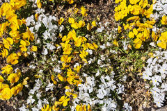 White and yellow pansies in the garden, natural background Stock Photos