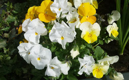 White and yellow Pansy. Close up of white and yellow Pansy or Stepmother's Flower, Love in idleness & x28; Viola tricolor L. and hybrids & x29; Beautiful Royalty Free Stock Photography