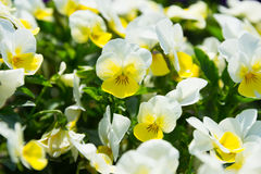 White and Yellow Pansy Flowers Stock Photography