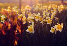 White and Yellow Petaled Flowers during Sunrise Royalty Free Stock Image
