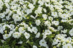 White yellow petunia flowers. And plants in the garden royalty free stock photography