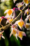 White Yellow Pink Flowers Branch Macro Detail Beautiful Royalty Free Stock Photo