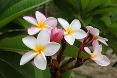 White-yellow-pink  flowers of plumeria frangipani  on the branch in the park. Royalty Free Stock Photo